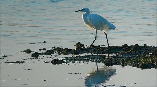 birdwatching delta del po airone