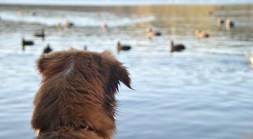 cane che guarda anatre